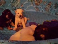 4 AKC Male German Shepherd Puppies. $700. We have 4 AKC