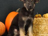Meet Ryker! He is a beautiful purebred, AKC signed up,