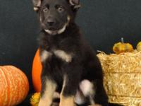 Meet Rocky! He is a stunning purebred, AKC registered,