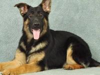 I have 3 male German Shepherd pups. They were born