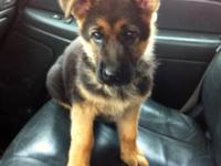 I have 1 AKC German Shepherd boy left. He is social
