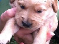 9 week old AKC golden retriever puppy looking for his