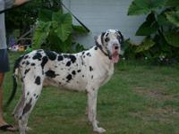 HI I HAVE A HARLEQUIN GREAT DANE FOR STUD.. LUCKY WILL
