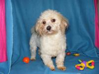 Bozley is a 1 year old male ACK signed up Havanese