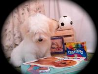 Polar Bear is a large but beautiful Havanese puppy. He