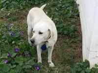 AKC Registered Male Lab Born 4-5-08 Excellent pet Has