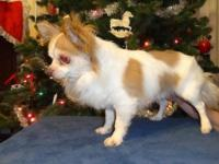 Very sweet guy longhair chihuahua. This slightly