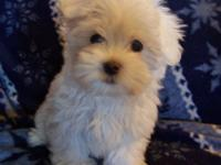 Wintry is full blood Maltese. He is AKC registered. He