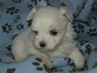 AKC registered male Maltese puppy with full