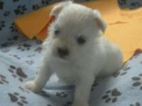 AKC male Maltese puppy expected to be about 6 lbs or so