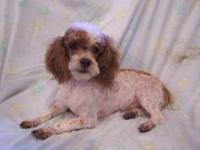 Odie is a cute little brown phantom parti poodle, AKC
