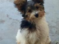 Full AKC Male Parti Yorkie. He is 15 weeks old and UTD
