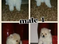 I have 3 male pomeranian babies akc registered super