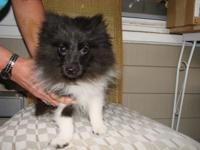 WEEK OLD AKC PUREBRED GUY POMERANIAN YOUNG PUPPY. FROM