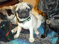 AKC registered fawn male pug Born 4-3-2012 he is