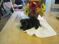 AKC REGISTERED BLACK & & FAWN MALE PUG PUPPYS!! HAVE