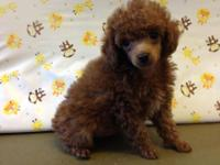 Cute small amount poodle puppy. He has a great