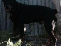 Akc male rottie looking for a good home. Great with