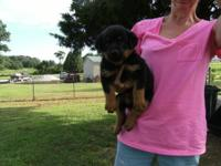 I HAVE 3 AKC MALE ROTTWEILERS READY FOR THEIR NEW HOME