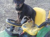 Beautiful Male Rottweiler New puppy looking for the