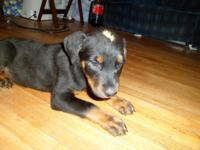 Akc male Rottweiler young puppy offered. He is the last