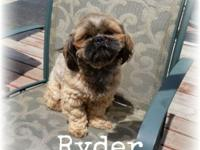 Ryder is a 11/2 year old male Shih Tzu, AKC Registered,