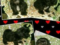 (2) Male, AKC Shih Tzu puppies! Born April 15th, and