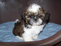 I have AKC male Shih Tzu puppies available. Feel free