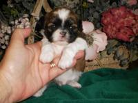 Three adorable, male Shih-Tzu puppies are available and