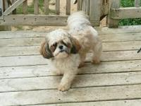 AKC Male Shih-tzu born 10/27/2014. Gideon is a friendly