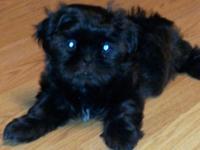 Born July 22,2014. male AKC Shih Tzu puppy. Vet