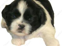 This Black & White male puppy is one of a litter, born