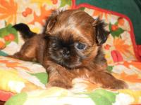 AKC tiny Imperial Shih-Tzu male puppy. This baby is for