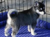 Akc Male Siberian Husky Puppy for rehome CONTACT BACK