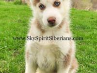 We have one red/white male pup available here at Sky
