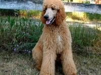 We have two older male standard poodle puppies for