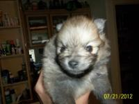 AKC male pomeranian, wolf sable right now but he will