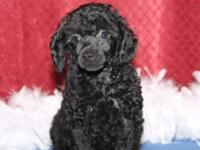I have one AKC TOY POODLE MALE still available. He will