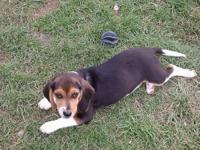 Mikey is a 3 year old beagle. He comes from 2 great