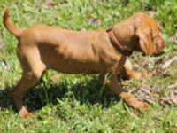 I have a great male Vizsla. He originates from the Dark