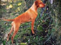 At Blacktail Trail Vizslas, we breed high-quality,