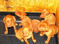 AKC Male Vizsla Pups. Tails docked and dew claws