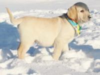 Webster is an AKC Registered yellow Labrador puppy! He