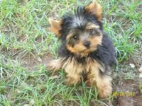 I have a 3 month old male yorkie double coated. mom