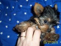 AKC Yorkie pups ready to go. Charting 4.5 Tails and