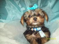 """Simon"" Standard Male AKC Yorkie. Hand/Home Raised."