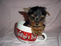 We have 1 male yorkie puppy! AKC Reg. With champions on