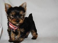 Male Yorkie puppy looking for his brand-new moms and