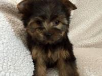 AKC full reg male Yorkie. Black and Tan. UTD on shots