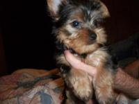 I have an AKC yorkie young puppy born upon 7-25-2014.